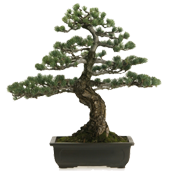 image of a bonsai tree.